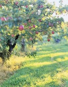 Apple-Tree-ENTERT0705-de (Copier)